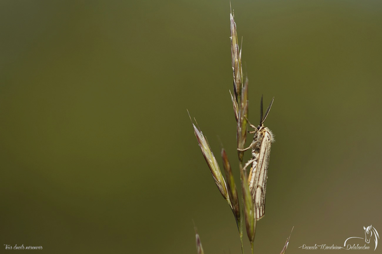 Ecaille striée ♂ (Spiris striata) - Coscinia striata