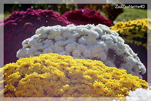CHRYSANTHEME-N--2-.jpg