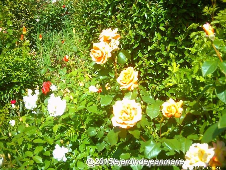 suite de la visite dans ma roseraie  ou tout les rosiers commencent a fleurir