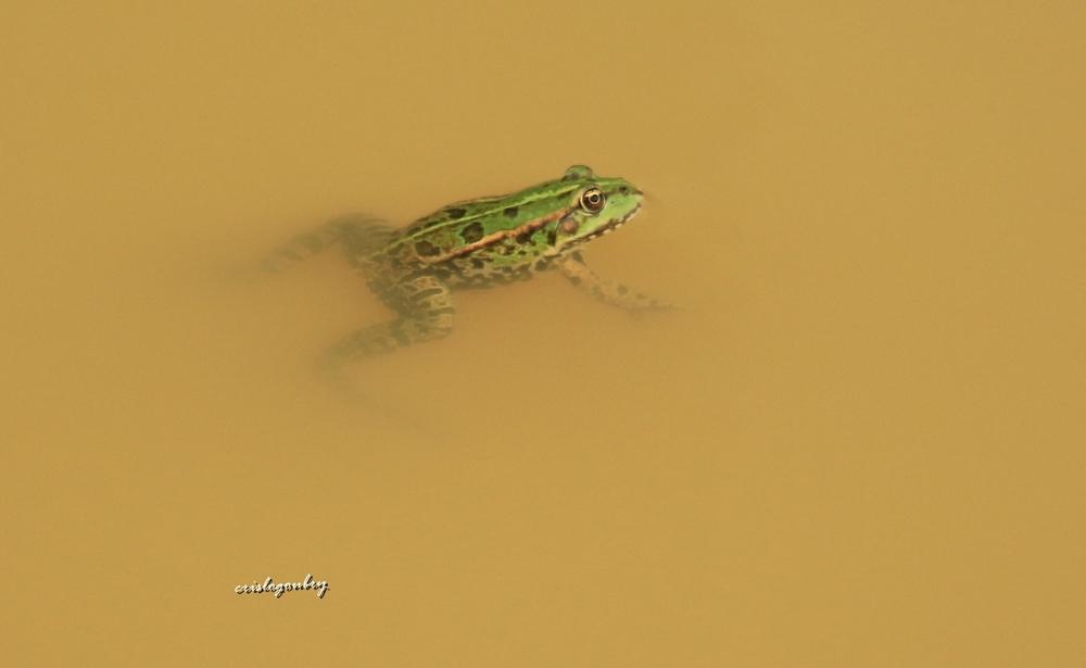 La grenouille ...