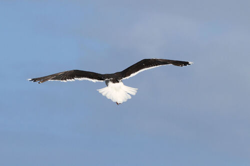 Goéland Marin (Great Black-backed Gull)