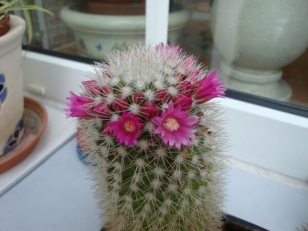 le-cactus-rose-1.jpg