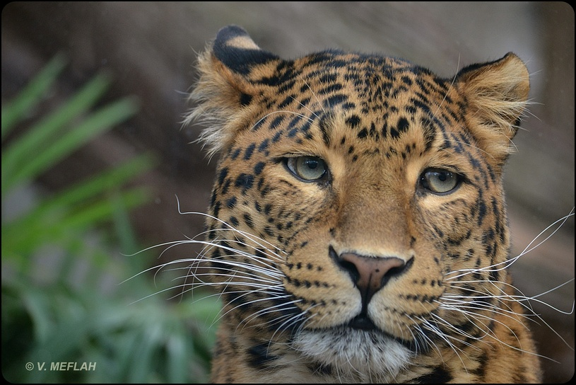 La Ménagerie, Zoo du Jardin des Plantes : Panthère de Chine du Nord