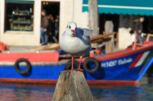 Mouette Rieuse Venise