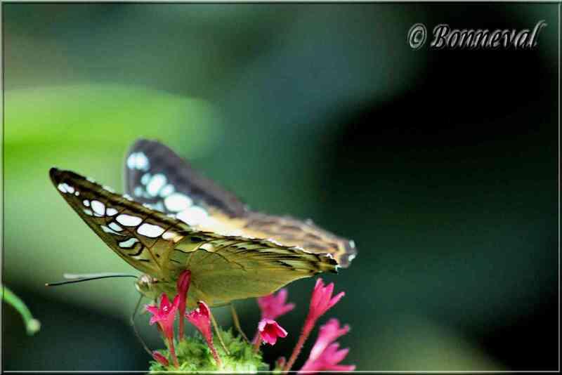 Papillons tropicaux Parthenos silvia philippensis