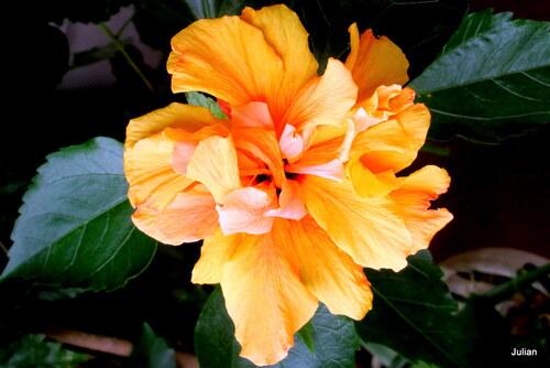 Les fleurs de mon hibiscus