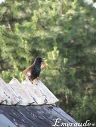 Photo Oiseaux, étourneau sansonnet - 22.05.11 - 04