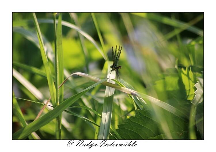 Le caloptéryx éclatant femelle