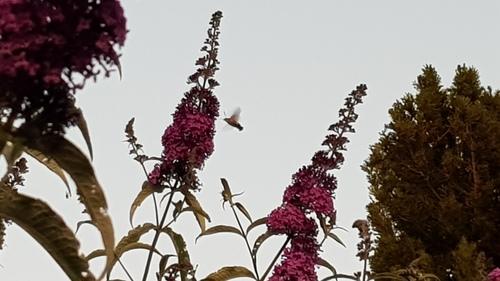 La nuit des papillons colibri