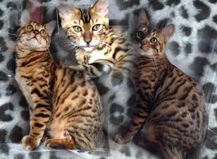 ChattamGladys8295753-bw-leopard-peau-arriere-plan-ou-la-texture-grande-resolution