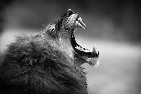 IMAGE : Le cri du lion