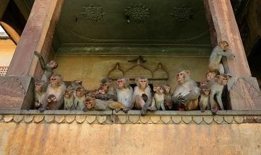 Un singe, ça va, mais une multitude, bonjour les dégâts ...