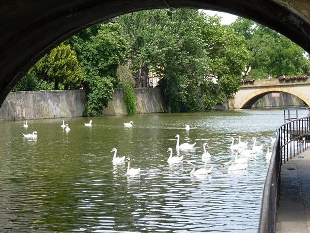 Metz les cygnes de la Moselle 2 été 2010