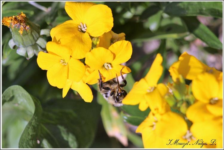 L'abeille, Apis mellifera
