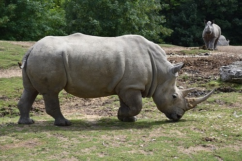 ... rhino...