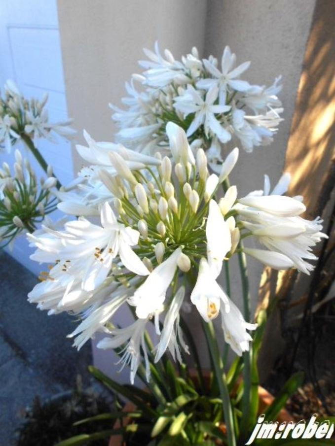 L'agapanthe blanche ou Bleu de Chine