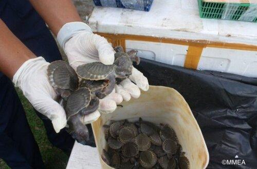 Des trafiquants arrêtés avec plus de 3'000 tortues