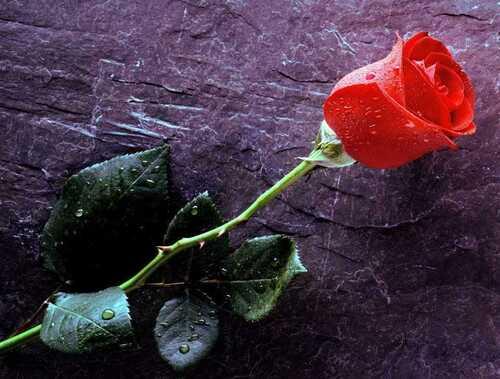 La rose et ses épines ... ( dédicace à Claude et Marie )