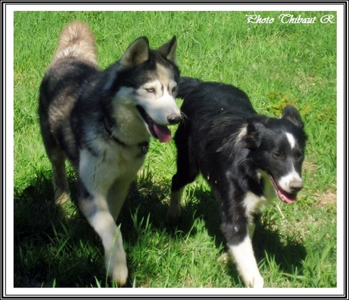 Husky et Border Collie