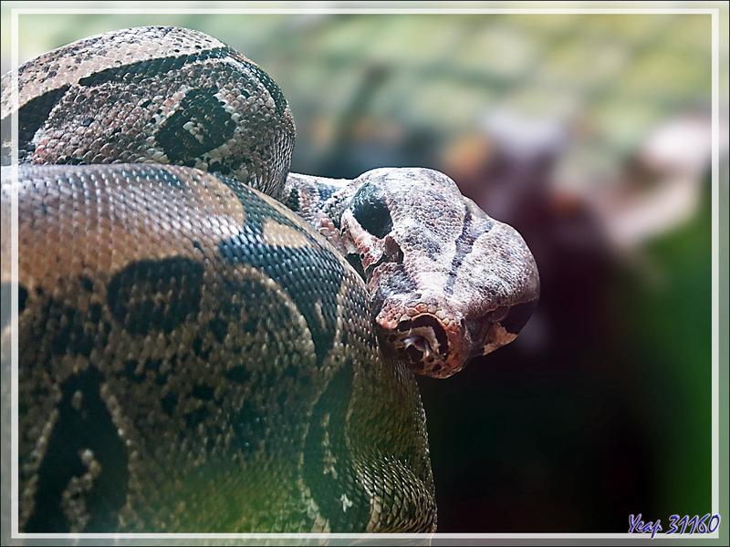 Boa constricteur (Boa constrictor) - Parque das Aves - Foz do Iguaçu - Brésil