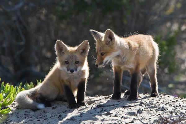 Bébés renards
