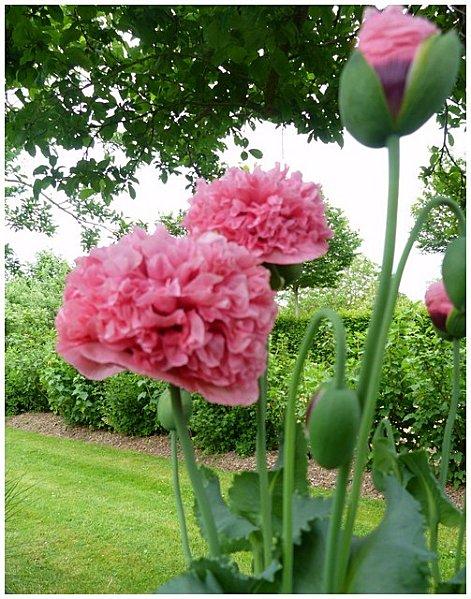 rose-tremiere-recadree.jpg