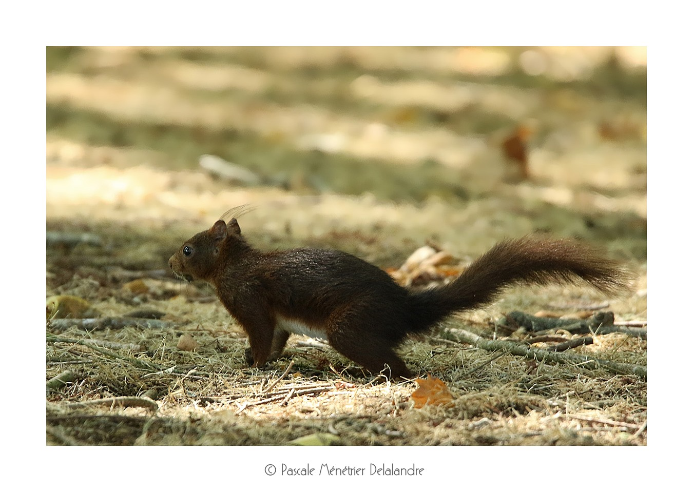 Écureuil roux - Sciurus vulgaris