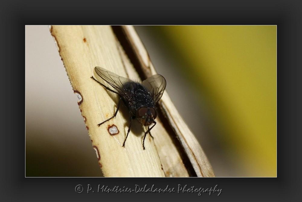 Une petite mouche qui n'a pas peur de la fraîcheur...