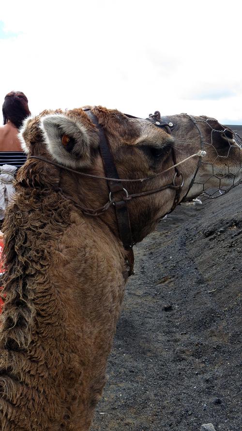 Lanzarote : a dos de chameaux