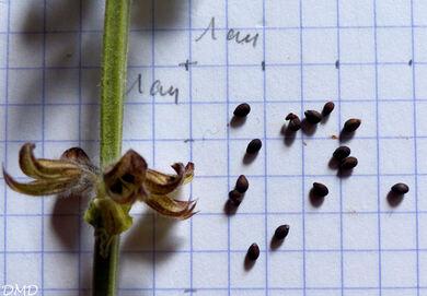 Salvia verbenaca  -  sauge à feuilles de verveine