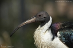 Ibis d'Australie