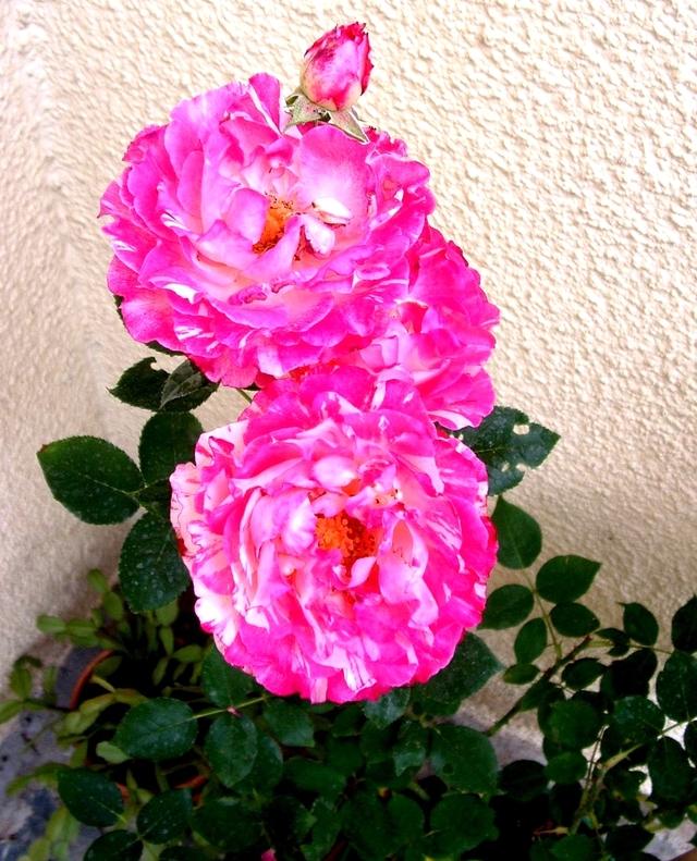 Les maladies crytogamiquesdu rosier: Alors traitons pour de belles roses.