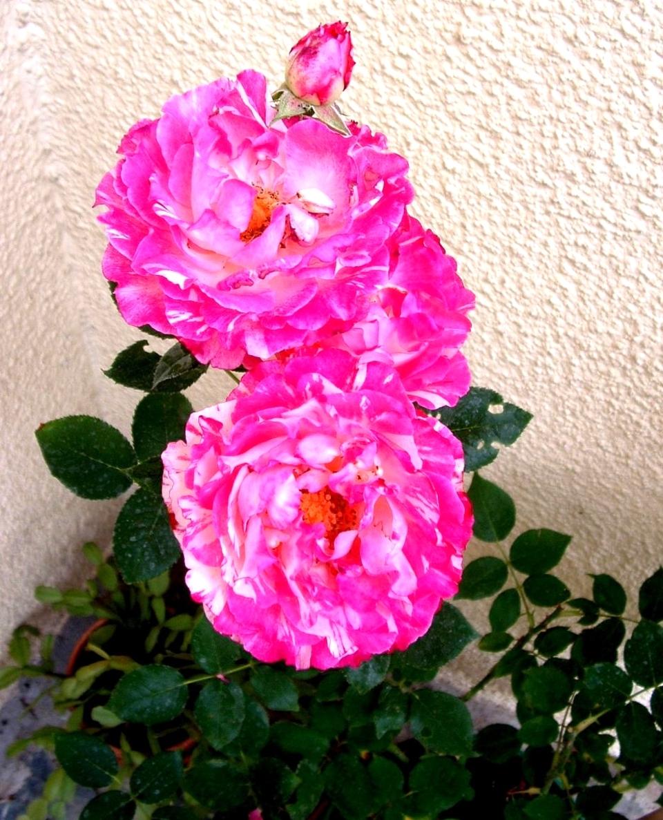 Quelques fleurs du jardin en ce mois de Juin