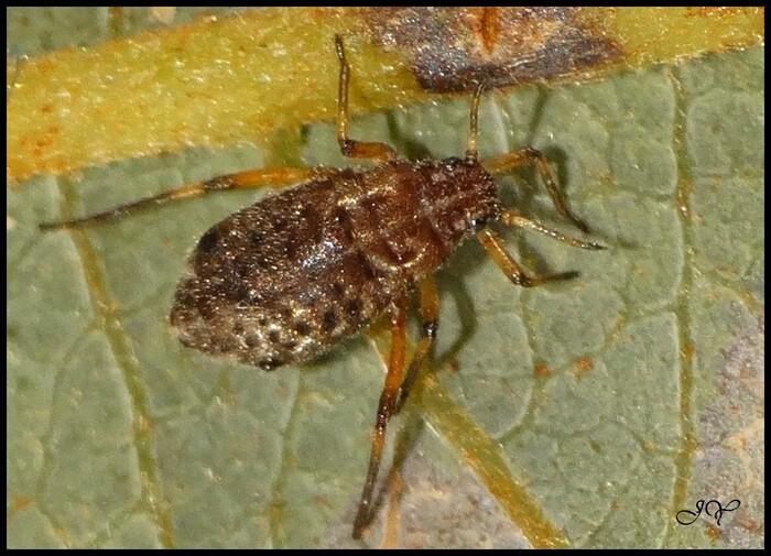 Tuberolachnus salignus.