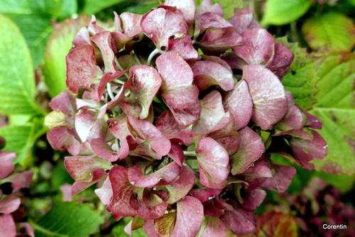 Fleurs d'hortensia