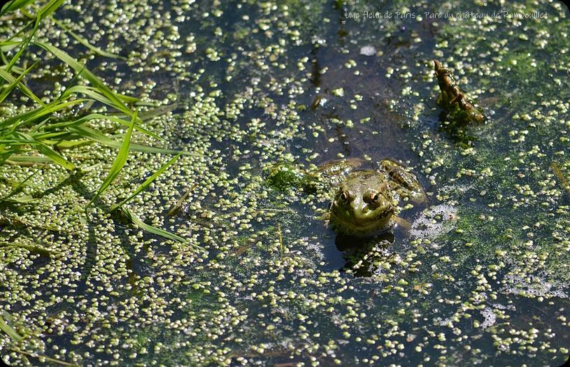 Rambouillet : Grenouille verte