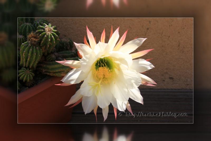 Jolie fleur de cactus...
