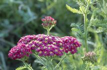 Lotion hydratante aux herbes et fleurs