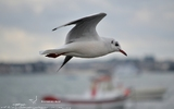 Mouette rieuse - p136