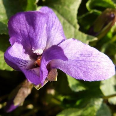 Le parfum des violettes...