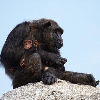 bébé chimpanzé et sa maman au zoo de la palmyre.