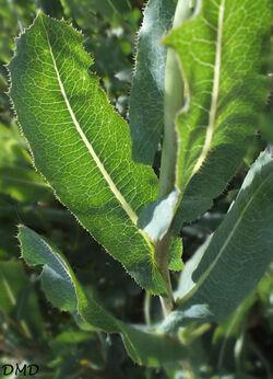 Lactuca serriola - laitue scariole