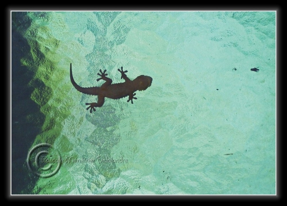Geckos ...