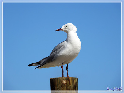 Mouette de Hartlaub, Hartlaub's Gull (Chroicocephalus hartlaubii) - Camps Bay - Cape Town - Afrique du Sud