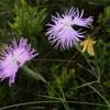 Oeillet de Montpellier (dianthus hyssopifolius ou Dianthus monspessulanus), rose