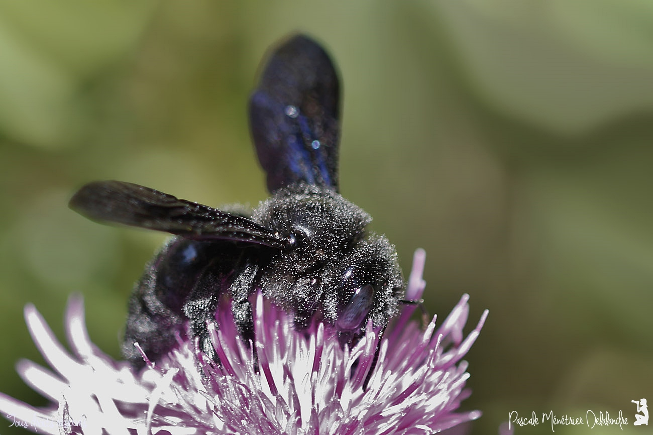 Xylocope ♀ ou Abeille charpentière