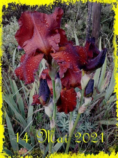 Quelques Iris ....