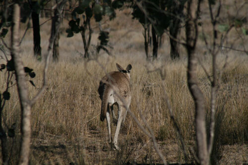 O Wallaby Style