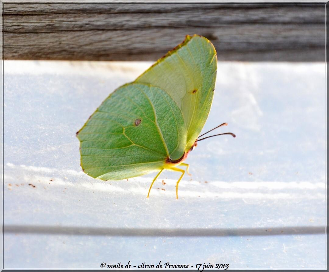 Papillon : Citron de Provence - Corse