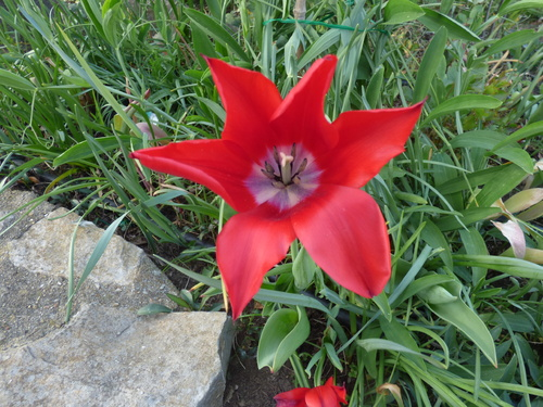 Les tulipes de mon jardin (1)